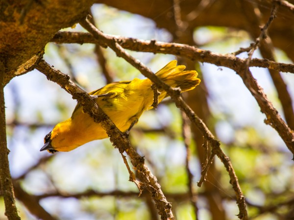 Inquisitive Weaver Bird